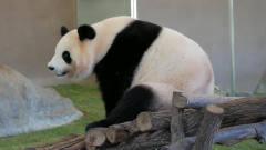 熊猫屁屁痒,跟着音乐扭动臀部,这节奏感,估