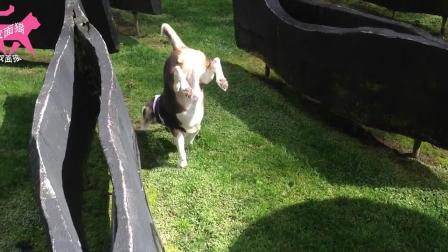 搞笑动物:小狗不走寻常路,愣是要倒立后退着