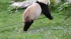 搞笑视频:现实版功夫熊猫