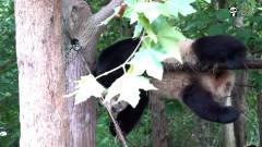 """大熊猫:大熊猫在线表演""""钢管舞"""",这一字马"""