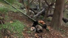 """大熊猫憨厚可爱,没想到也是个""""舞""""林高手,"""