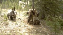 """棕熊跳""""钢管舞"""",上下扭动舞姿""""销魂"""",饲"""