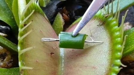 捕蝇草也太狠了 连针都夹 话说你感觉到疼吗