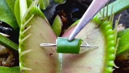 捕蝇草这也是太狠了 连 针 都敢夹 网友 感觉不到疼吗