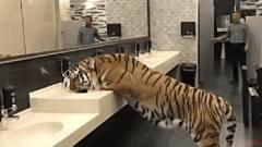 厕所看到老虎,以为是恶搞,从它身下爬过时老