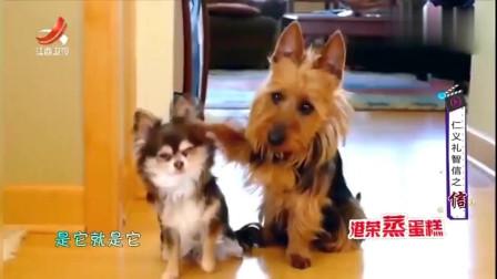 家庭幽默录像:当狗狗干了坏事后一般都会推卸