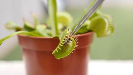 捕蝇草真的能捕食昆虫吗 老外用黄蜂测试 植物大战昆虫