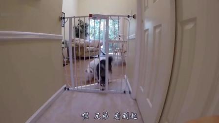 搞笑动物配音:看见这门没,是时候展示我二哈