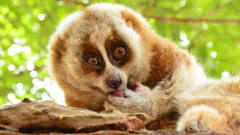 这猴子居然有毒,我国一级保护动物,体重不到