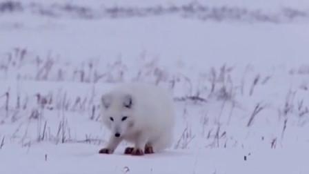 家庭幽默录像:看了雪狐捕猎后,终于明白了雪