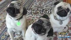 四川方言搞笑动物配音,当会卖萌的小狗讲起了