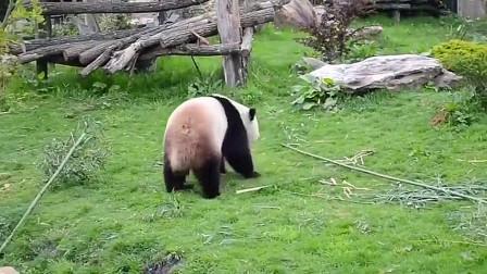 【搞笑动物】熊猫,这样的表演,是在闹哪一出
