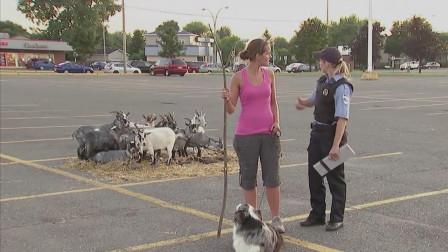 国外爆笑恶搞,路人帮忙看着狗狗,谁知后面有一个羊群