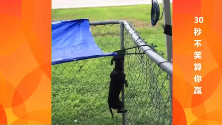 搞笑动物 精彩一刻 全程记录越狱的汪星人 没有