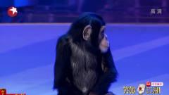 超萌小猩猩来袭,看着美女目不转睛,宋丹丹乐