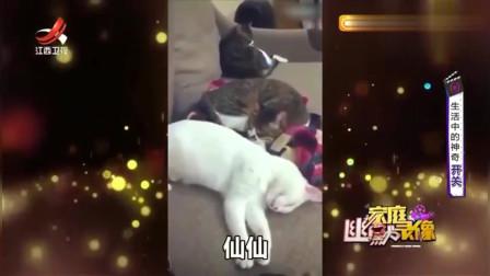 家庭幽默录像:喵星人装睡不理主人,一听猫粮罐头,一个个飞奔而至