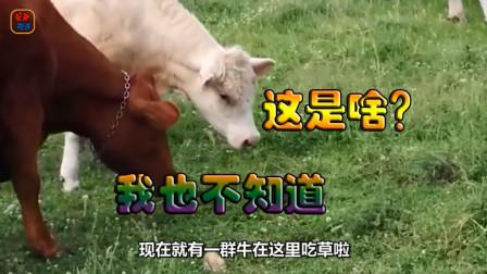 一群牛在吃草的时候发现了一坨东西,一走近整群牛都吓跑了