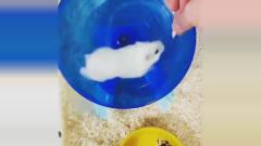 仓鼠的搞笑视频集锦,太好笑了,怎么就这么逗