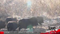 藏香猪在山上,的军事化管理,一起来了解吧