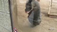 搞笑动物!猴子的春天