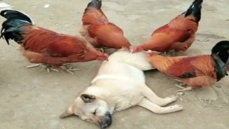 萌宠:搞笑视频,这只中华田园犬才是狗生赢家
