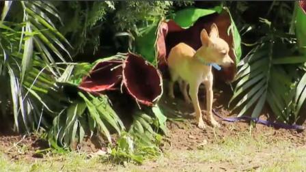 捕蝇草一口吞了一条狗 路人看到后吓到了 它们真的真么厉害吗