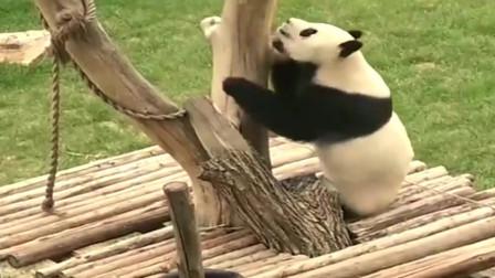 熊猫:爱跳舞的熊猫,在木架上跳起钢管舞,太