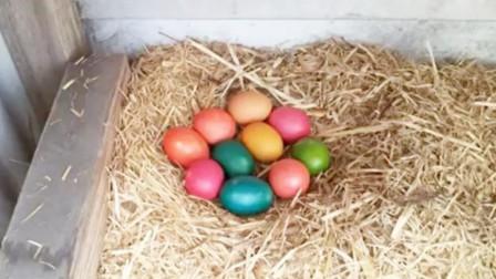 小伙恶搞自家母鸡,竟将鸡蛋染成五颜六色,母