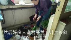 热门花卉,君子兰的上盆技巧和后期养护要点