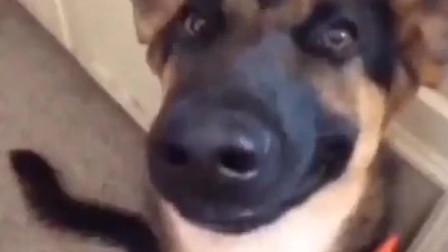 爆笑动物:搞笑动物,狗!你跟着笑了么?