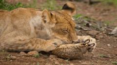 称霸动物界的狮子,遇到乌龟也犯了难,镜头记