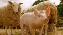一部搞笑动物电影,宠物猪为了不被烤*猪,每天