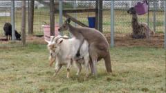 终于找到能制服山羊的动物了,治的服服帖帖,