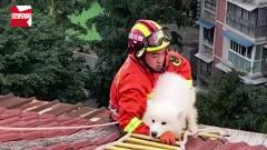 """萨摩耶爬7楼屋顶""""看风景""""被困,获救后撒腿就"""