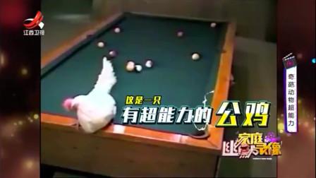 家庭幽默录像:鸡中的桌球高手!你一杆子搞不