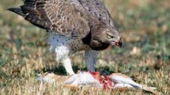 非洲最危险猎手!抓着平头哥上天,毒蛇只是它