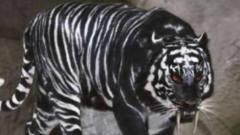 """印度发现独一无二的""""黑色老虎"""",就像是刚挖"""