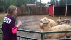 搞笑动物之不正经的山羊,笑尿了