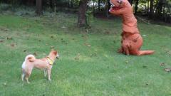 这个铲屎官真调皮!穿恐龙服恶搞狗狗,吓得狗