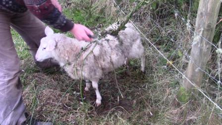 能够吃羊的植物 比捕蝇草食人花还恐怖 你们见过吗