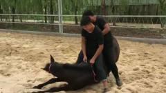 动物聪明起来比人还精,看看这匹马儿就知道了