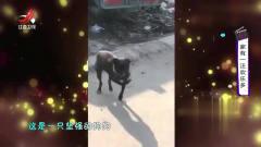 家庭幽默录像:直男汪,爆笑狗子实力演绎注孤