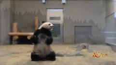 """熊猫是人假扮的?日本综艺节目终于找到了""""证"""