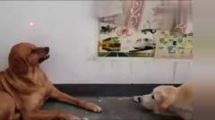 搞笑动物视频合集,看到法斗就忍不住笑了