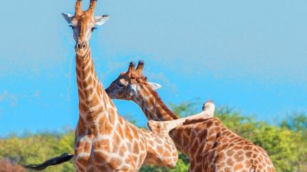 见过狮子老虎打架,见过长颈鹿打架吗?网友:谁脖子长谁说了算!