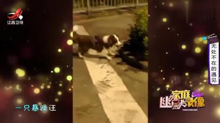 家庭幽默录像:柴犬胆小还想吵架,这时要紧紧