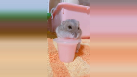 可爱宠物仓鼠搞笑合集 搞笑动物视频