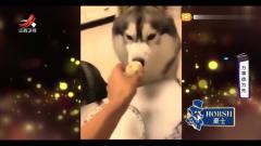 家庭幽默录像:主人偏心,给另一只狗狗吃鸡,