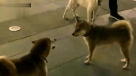 搞笑动物配音:两只狗狗在街上互不相让,主人