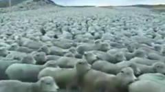 人和动物的搞笑瞬间:见过绵羊、海、吗,一眼